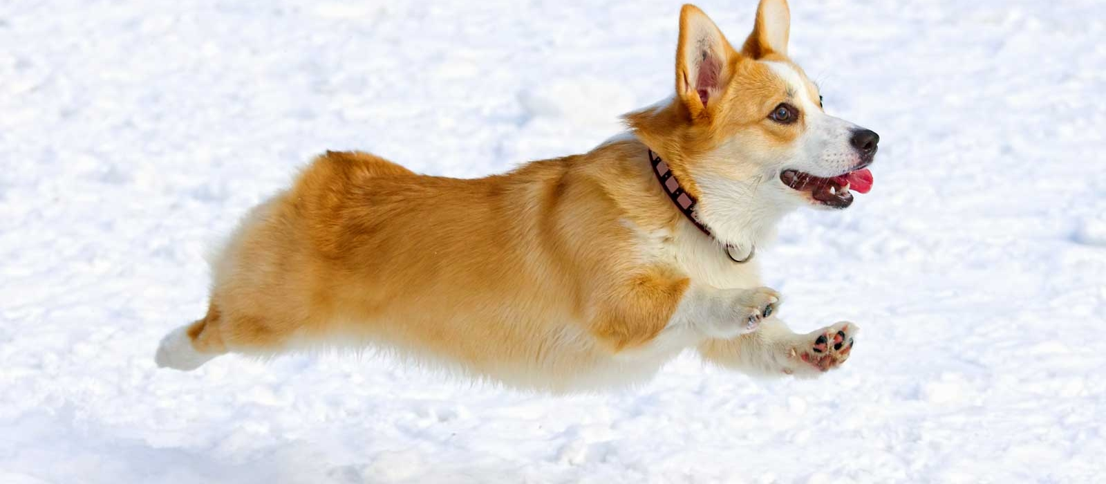 Some methods to help train Corgi dogs become easier